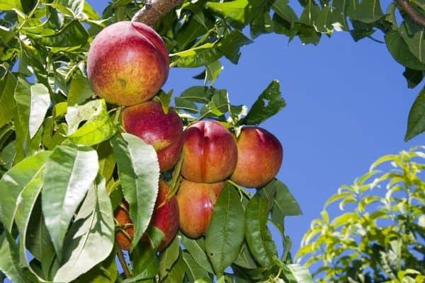 flavortop-nectarin-tree