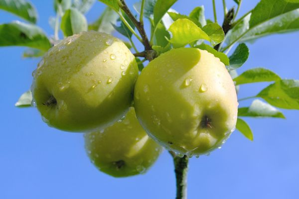 golden-delicious-apple-tree
