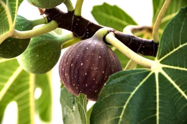 napolitana-fig-tree